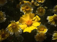 Coreopsis sunlight