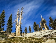 Foxtail pines